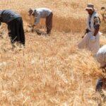 پرداخت 95 درصد مطالبات گندمکاران کشور